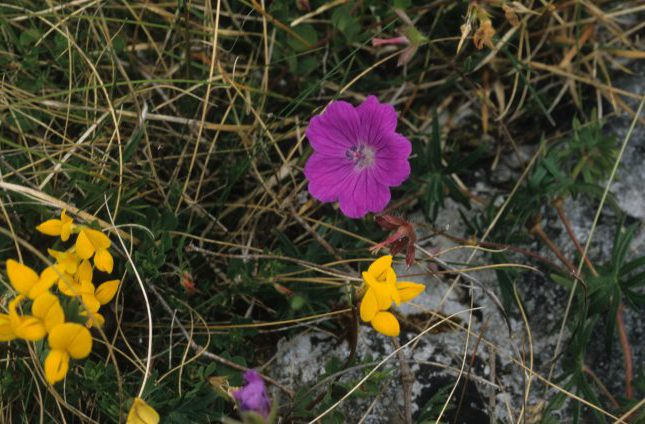 Bird's Foot Trefoil and Bloody Cranesbill by Lynda Huxley