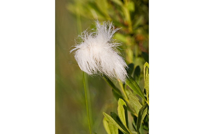 Bog Cotton by Kevin Murphy