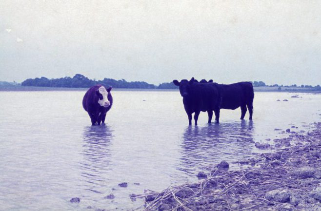 Cattle in water, Bridge park, Partry Estate, August 1975 by Jonathan Shackleton