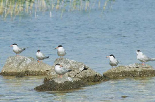 Common Terns on Rocks by Lynda Huxley