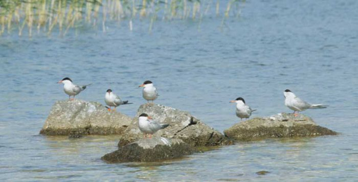 Common Terns by Lynda Huxley