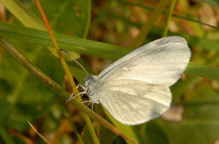 Cryptic Wood White Butterfly photographed at Cloondover in May 2012 by Martin Davies
