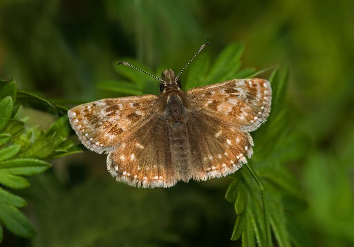 Dingy Skipper 2 by Kevin Murphy