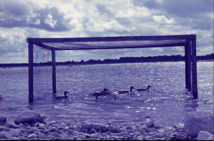 Ducks in trap. August 1975 by Jonathan Shackleton