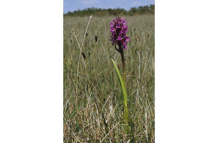 Early Marsh Orchid by Lynda Huxley
