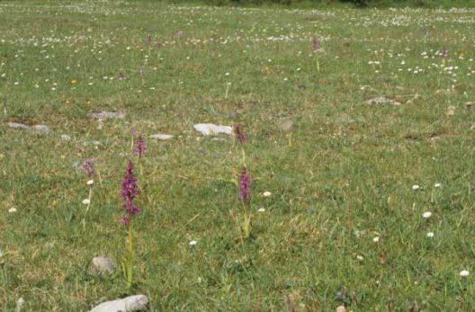 Early Purple Orchids in Grassland by Lynda Huxley