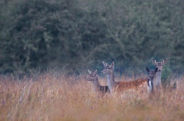 Fallow Deer by Kevin Murphy