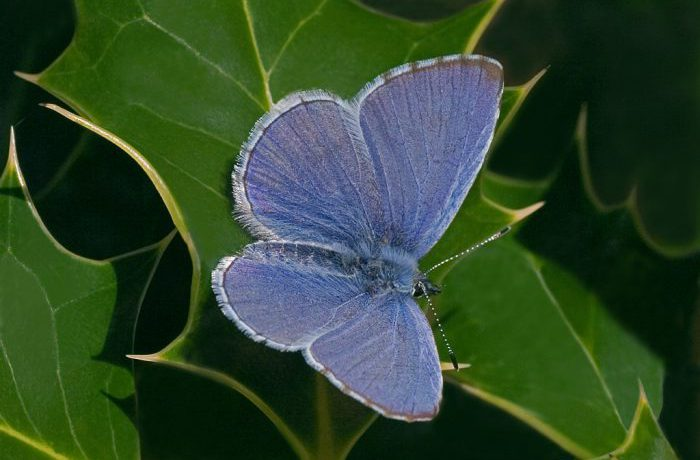 Holly Blue by Kevin Murphy