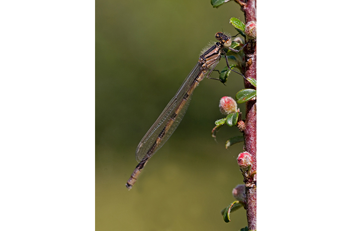 Immature Common Blue Damselfly by Kevin Murphy