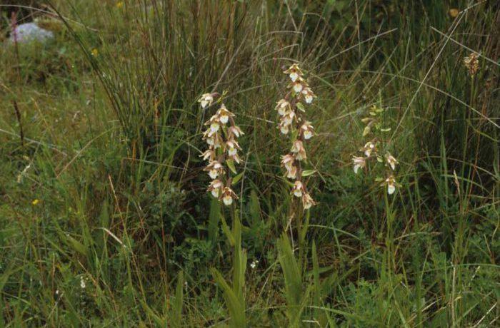 Marsh Helleborine by Lynda Huxley
