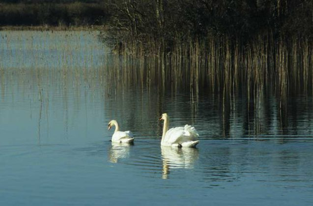 Mute Swans at Castle Burke by Lynda Huxley