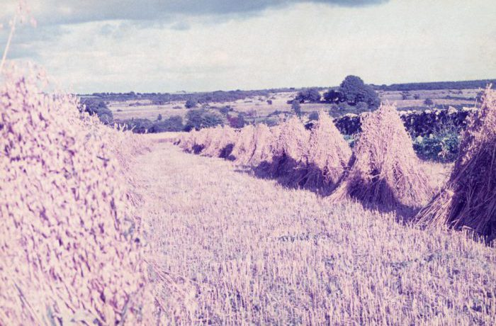 Oats near Lough Carra, August 1975 by Jonathan Shackleton
