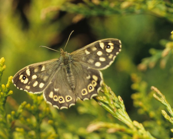 Speckled Wood by Lynda Huxley
