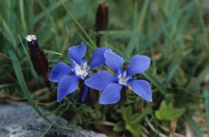 Spring Gentian by Lynda Huxley