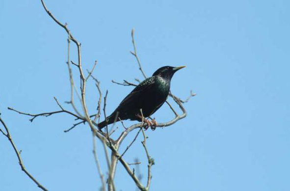 Starling by Lynda Huxley