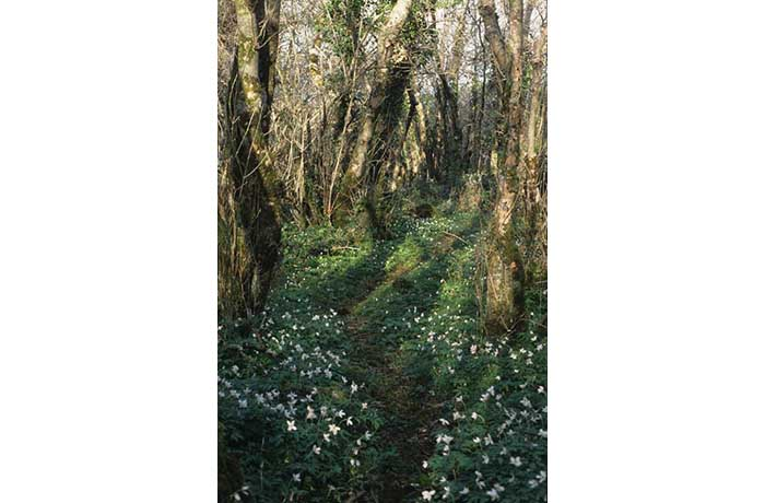 Wood Anemones, Doon peninsula, Lough Carra by Lynda Huxley