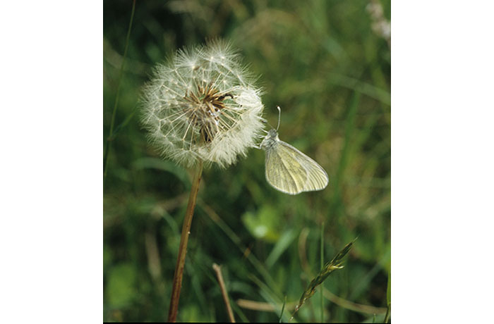 Cryptic Wood White Butterfly by Lynda Huxley