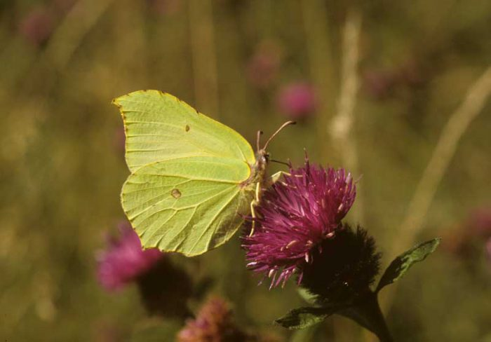 Brimstone on Knapweed by Lynda Huxley