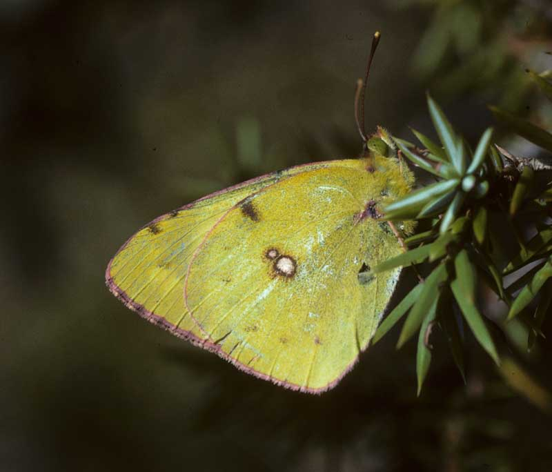 Clouded Yellow by Lynda Huxley
