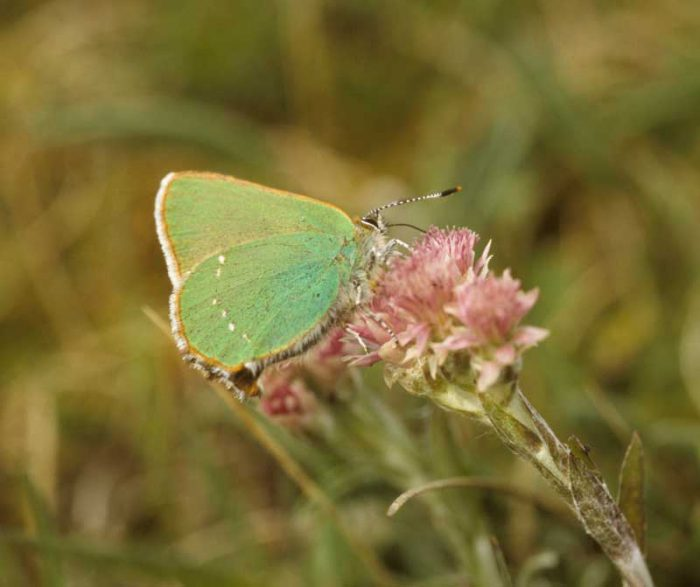 Green Hairstreak by Lynda Huxley