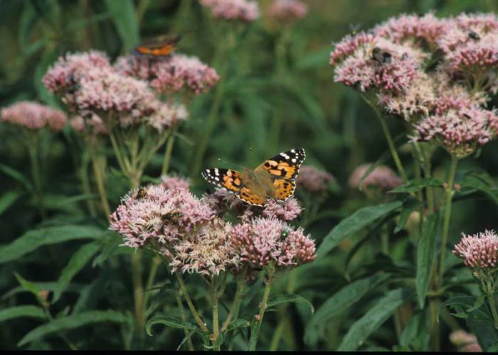 Painted Lady on Hemp Agrimony by Lynda Huxley