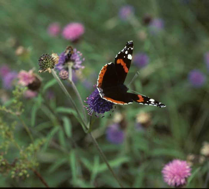 Red Admiral by Lynda Huxley