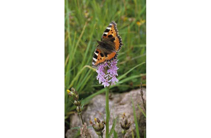 Small Tortoiseshell on Common Spotted Orchid by Lynda Huxley