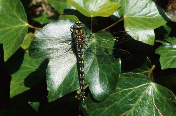Hairy Dragonfly by Lynda Huxley