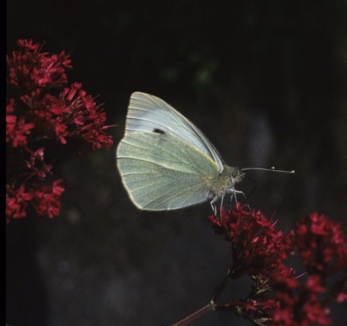 Large White by Lynda Huxley