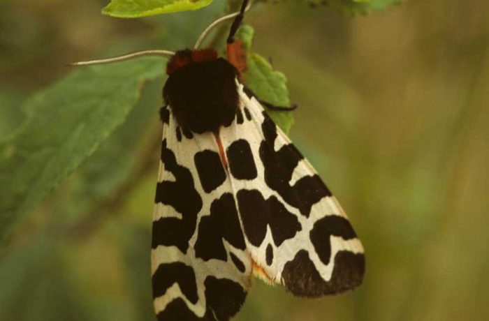 Garden Tiger Moth by Lynda Huxley