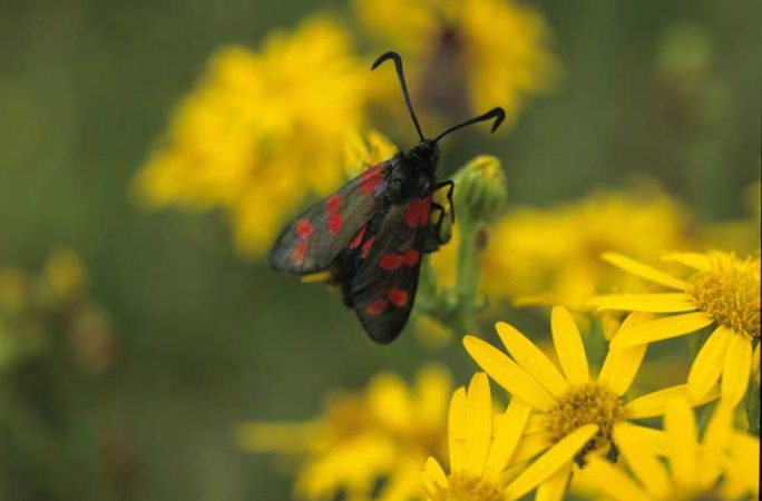 Six Spot Burnet Moth by Lynda Huxley
