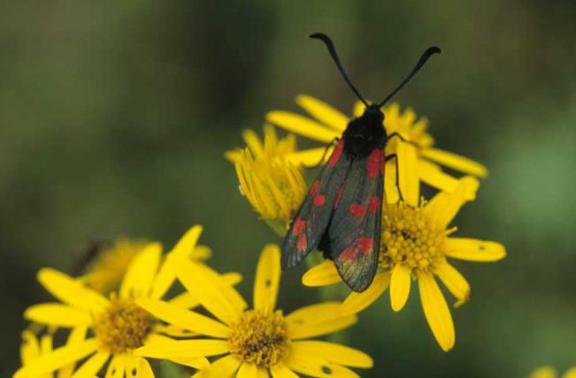 Six-Spot Burnet on Ragwort by Lynda Huxley