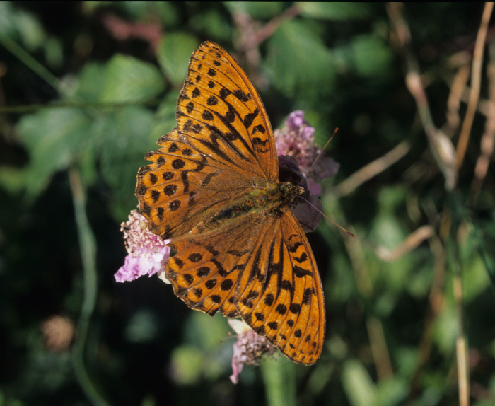 Silver Washed Fritilary Butterfly by Lynda Huxley