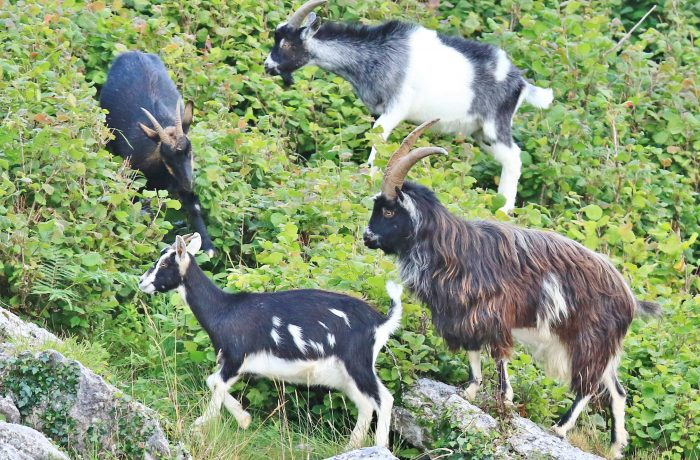 Old Irish Goats, Port Royal by Bob Adams