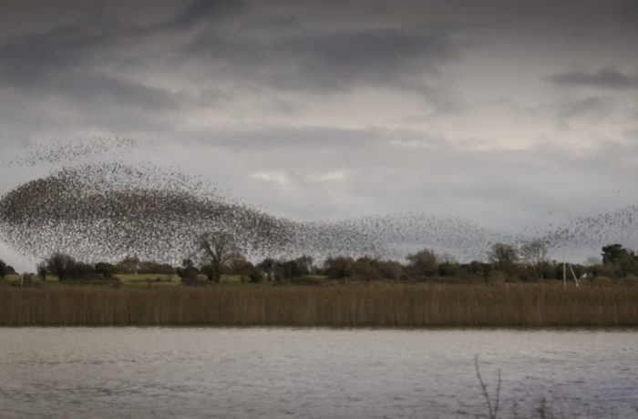 Starling murmuration at Moore Hall in November 2017 by Lynda Huxley