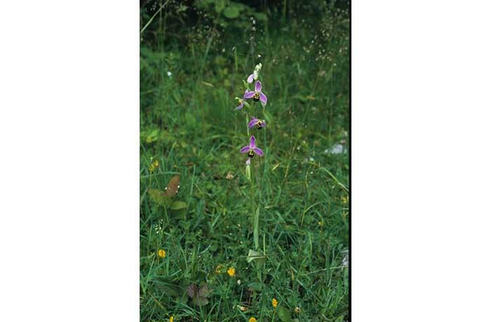 Bee Orchid Stem by Lynda Huxley