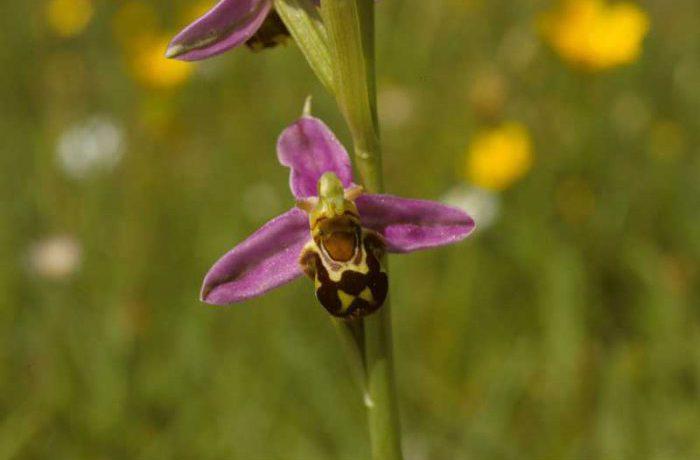 Bee Orchid by Lynda Huxley