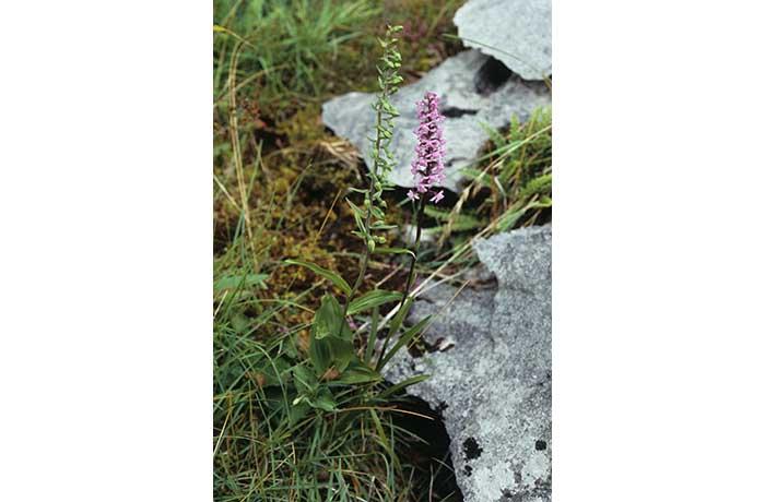 Broad-leaved Helleborine and Fragrant Orchid by Lynda Huxley