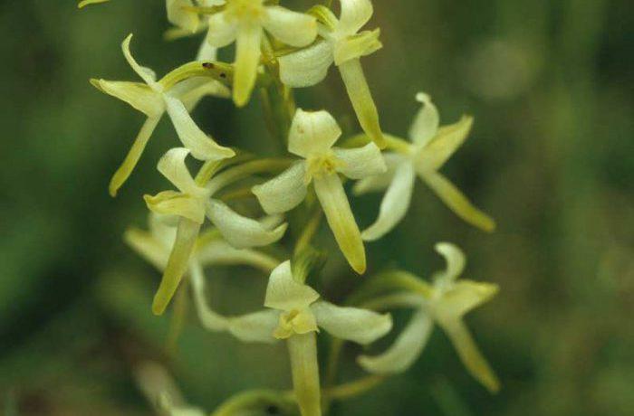 Butterfly Orchid Closeup by Lynda Huxley