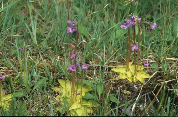 Butterwort by Lynda Huxley