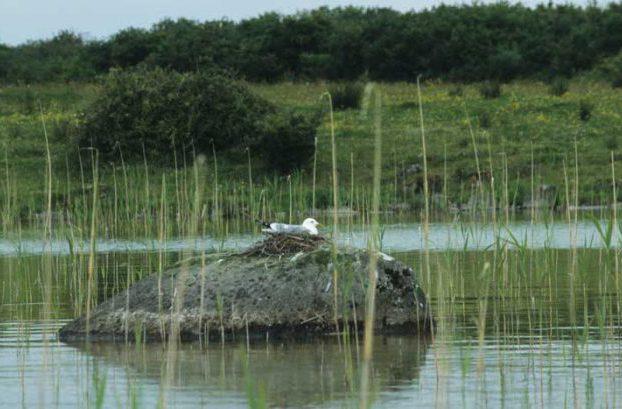 Common Gull on Nest by Lynda Huxley