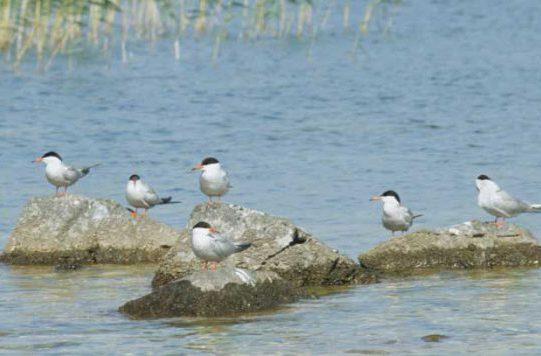 Common Terns on Rocks by Lynda Huxley