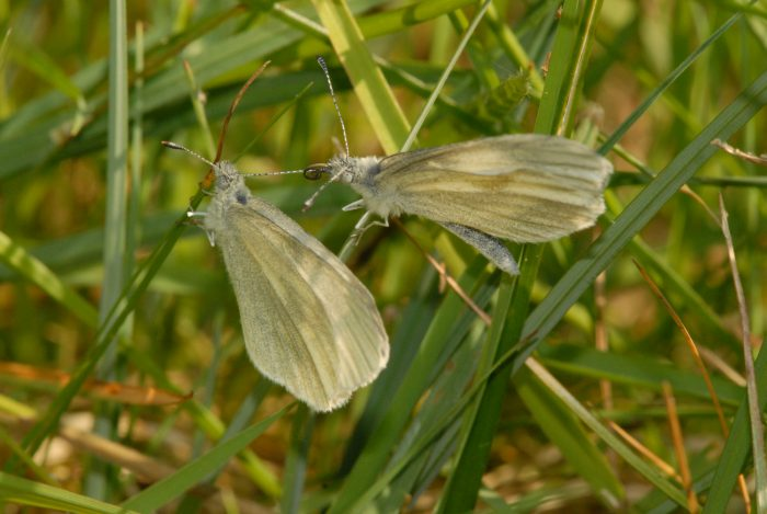 Courting Behavour of the Cryptic Wood White Butterfly at Cloondover in May 2012 by Martin Davies