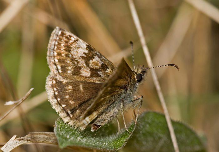 Dingy Skipper butterfly by Keivn Murphy