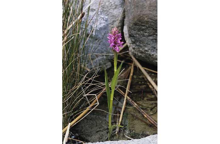 Early Marsh Orchid 2 by Lynda Huxley