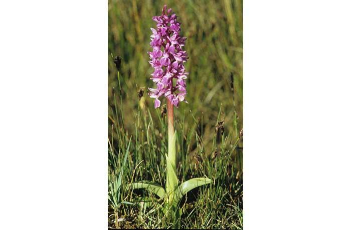 Early Marsh Orchid by Lynda Huxley