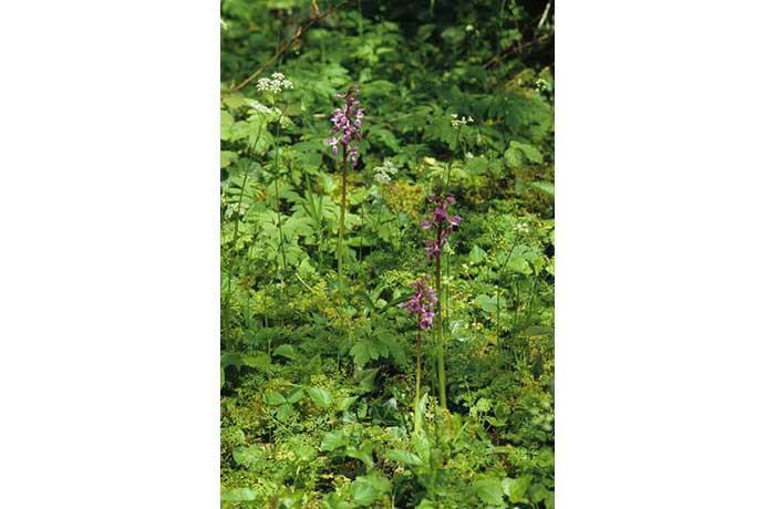 Early Purple Orchid by Lynda Huxley
