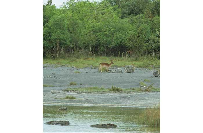 Fallow Deer by Lynda Huxley