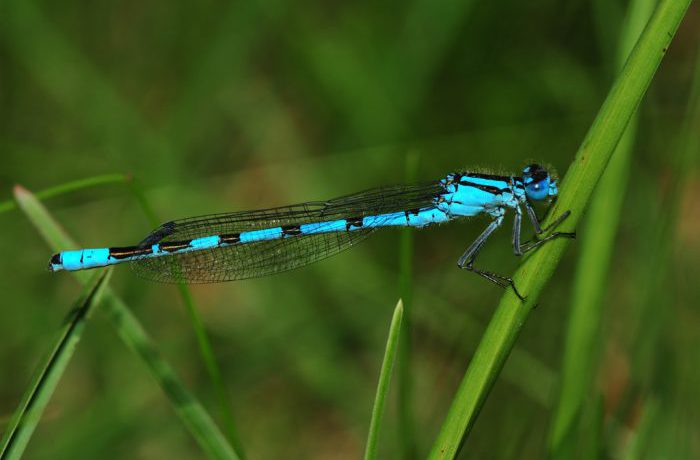 Female Common Blue Damselfly by Paul Malone