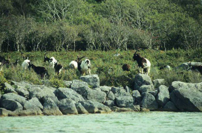 Feral Goats by Lynda Huxley